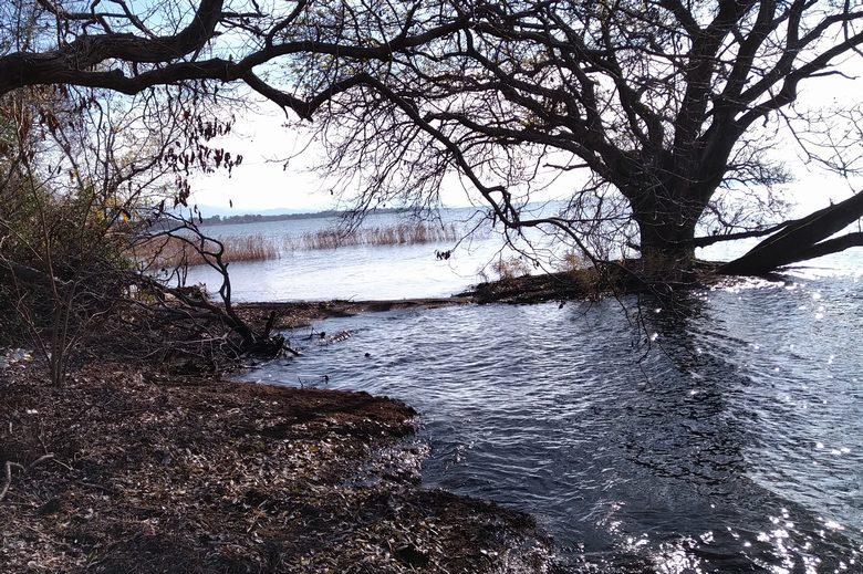 木やアシが生えている琵琶湖の湖岸