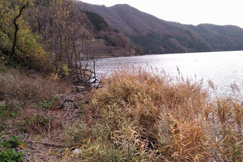 飯浦の岸に生えたヨシや木