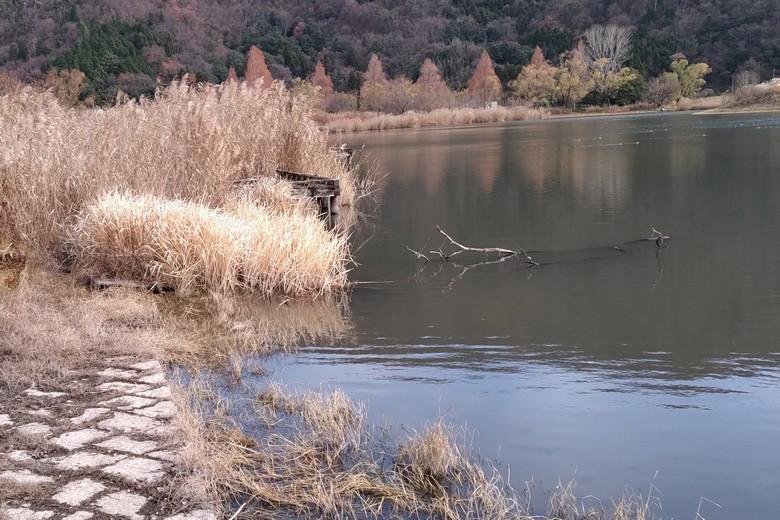 野田沼の北側の岸にある石だたみとアシ
