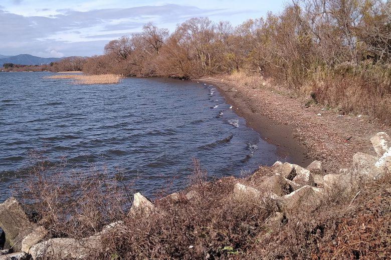 田川の北側の岸とアシ