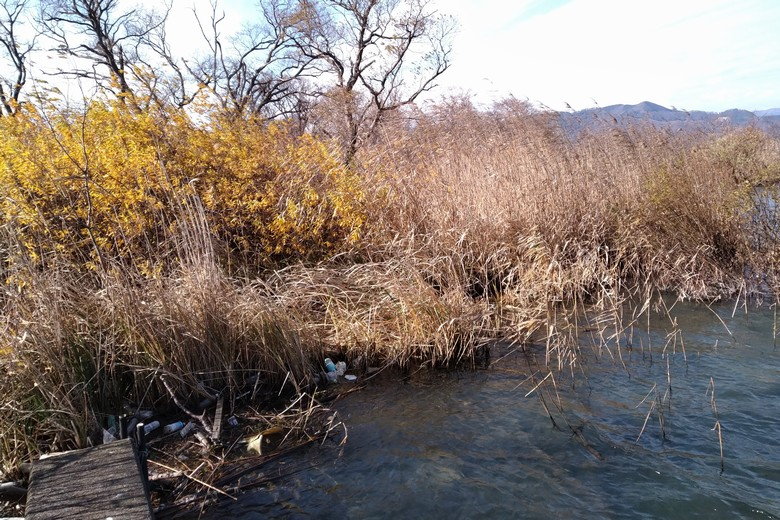 余呉川河口の岬に沢山茂っている木と葦