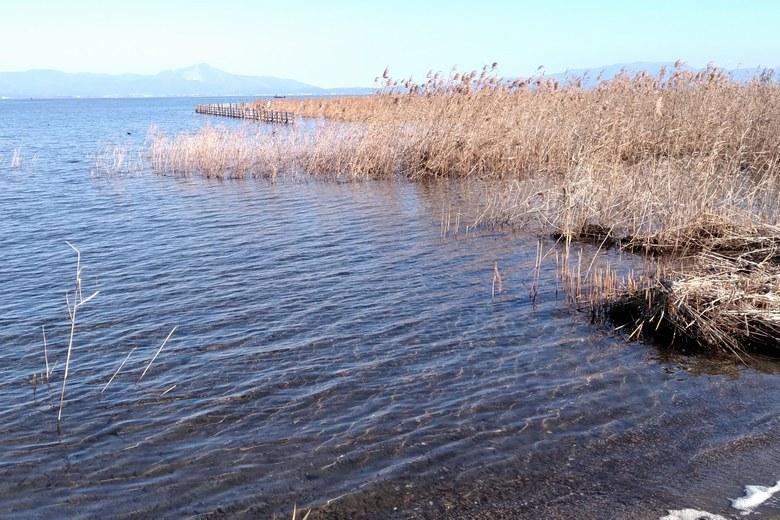 針江浜の水辺のアシと柵や杭