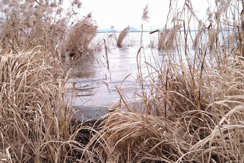唐崎苑湖岸緑地のアシ林