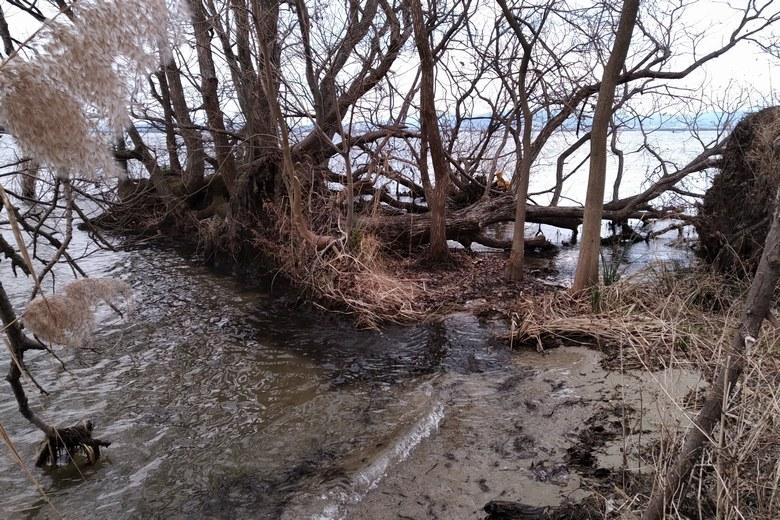 唐崎苑湖岸緑地の岸辺に生えている木