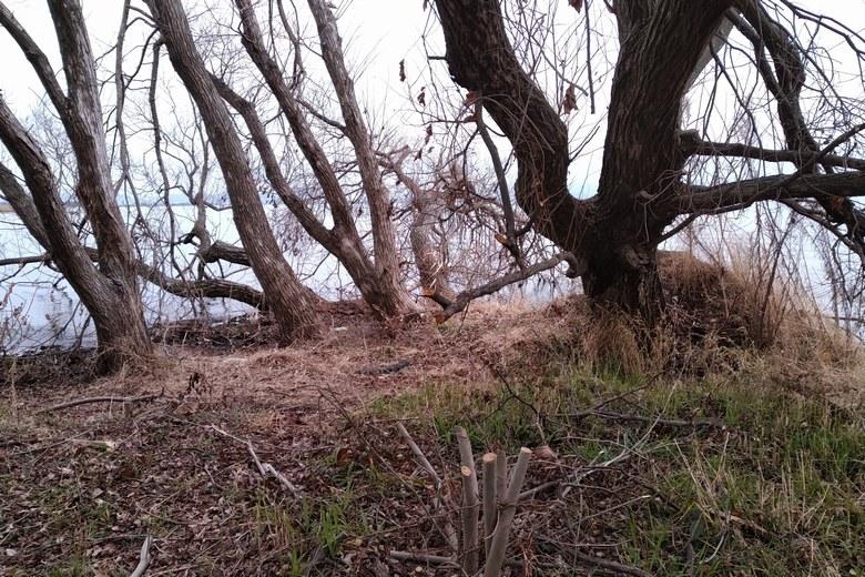 衣川湖岸緑地の先端の木