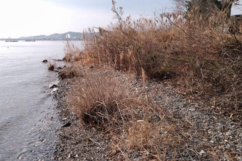 野離子川の河口にある大量のアシや植物