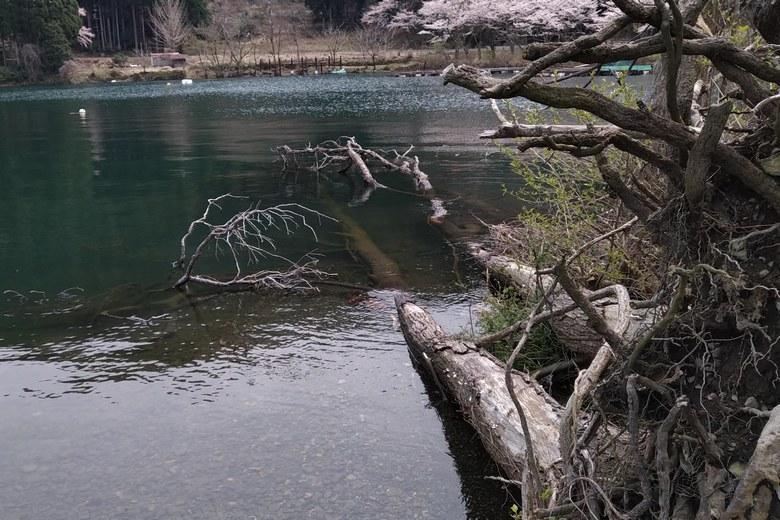 奥出湾の南の岬にある倒木