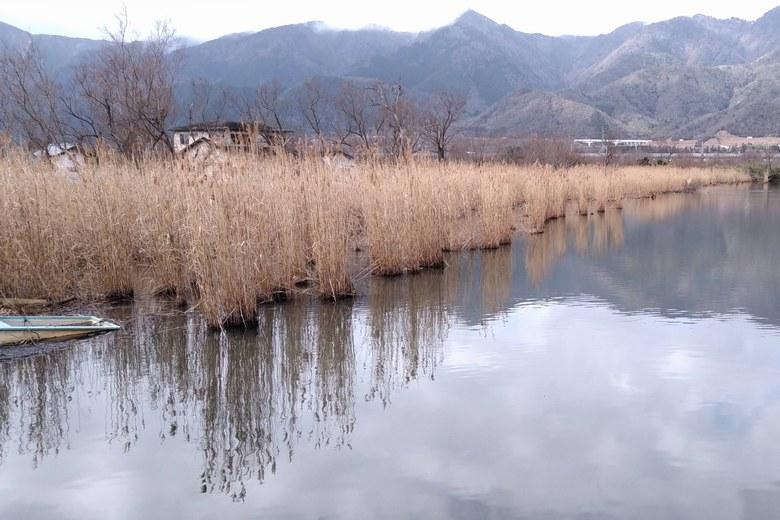 近江舞子の内湖の西のアシ