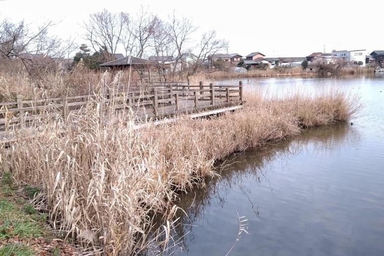 乙女ヶ池の北の水上デッキとアシ
