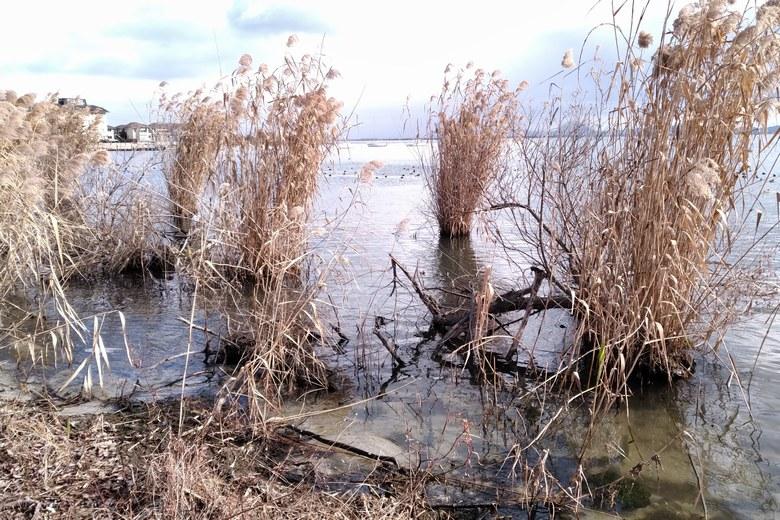 四ツ谷湖岸緑地のアシ