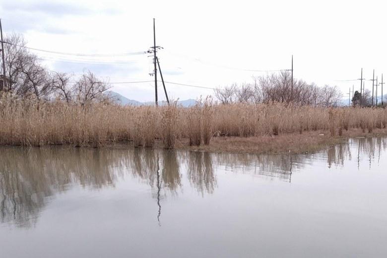 下物内湖のアシ林
