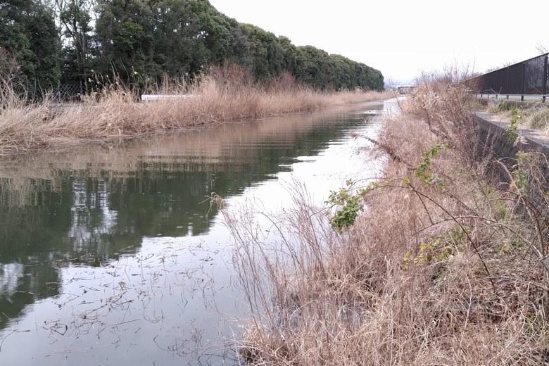 木浜2号水路の護岸とアシ