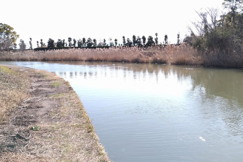 山寺川の上流にあるアシ林