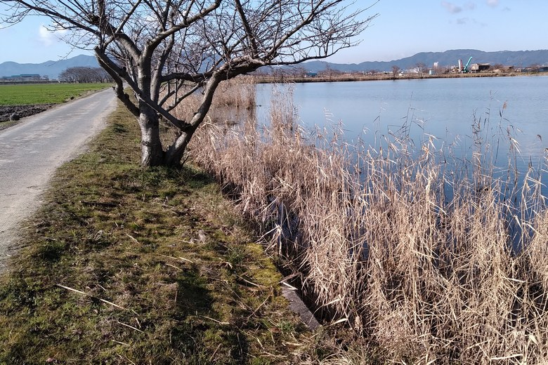 柳平湖の東岸のアシ