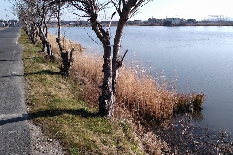 柳平湖の西岸のアシ