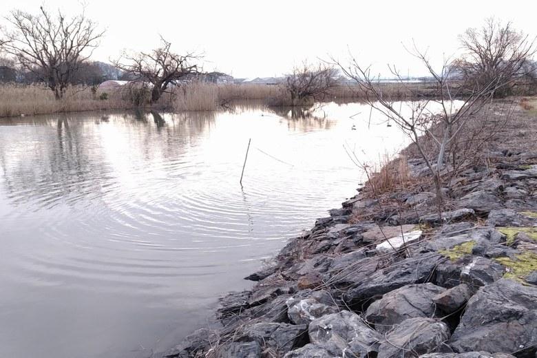 野洲浦のアシと石積み護岸