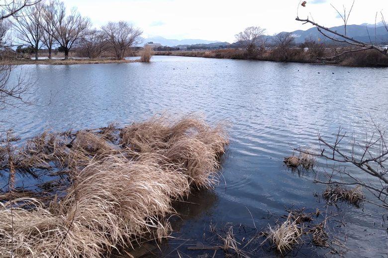 彦根の野田沼の、南エリア