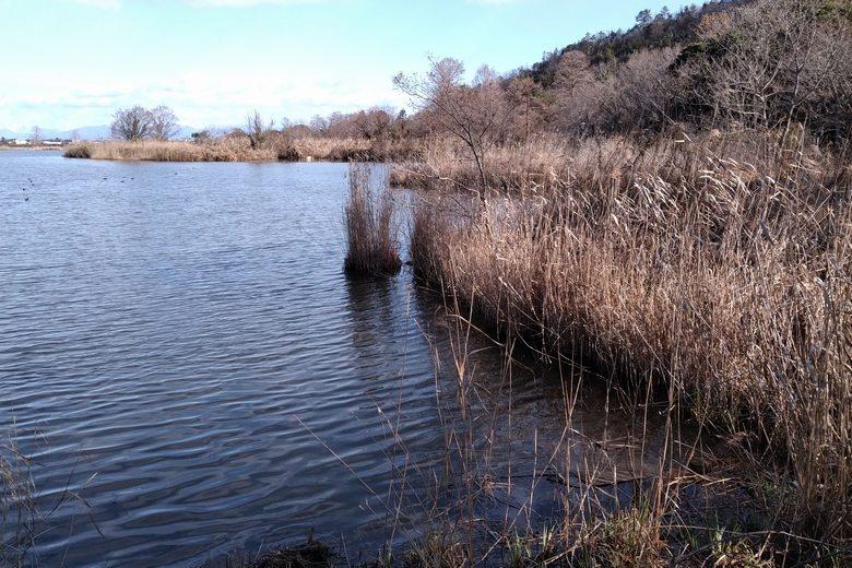 曽根沼の南側のアシ林