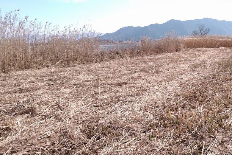 能登川水車エリアの南東にあるアシ林