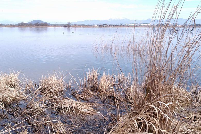 能登川水車エリア近くのアシ林の水辺