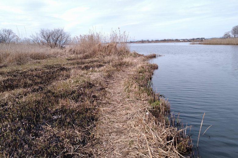 アシ刈りされた、瓜生川河口のアシ林
