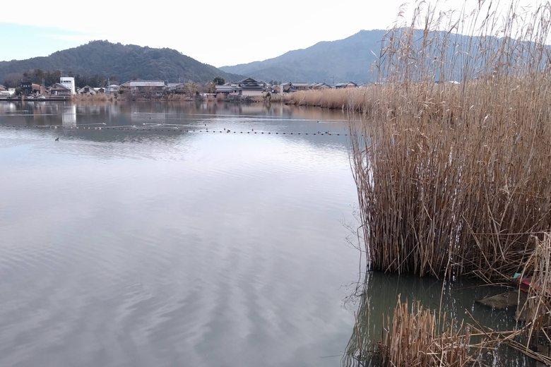 山本川の流れ込みの隣にあるアシ林