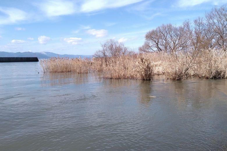 不飲川の河口にあるアシ