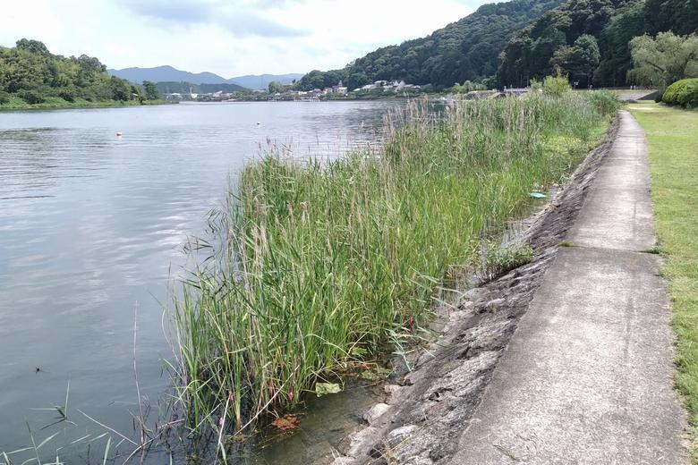 石山寺公園の護岸と浅瀬の植物