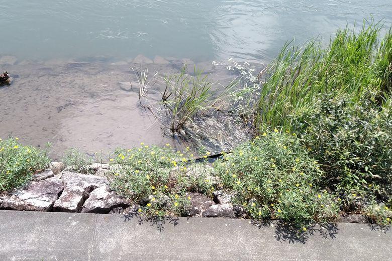 瀬田川の岸際の浅瀬と、石積みのブレイク